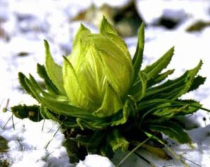 hoa tuyết liên